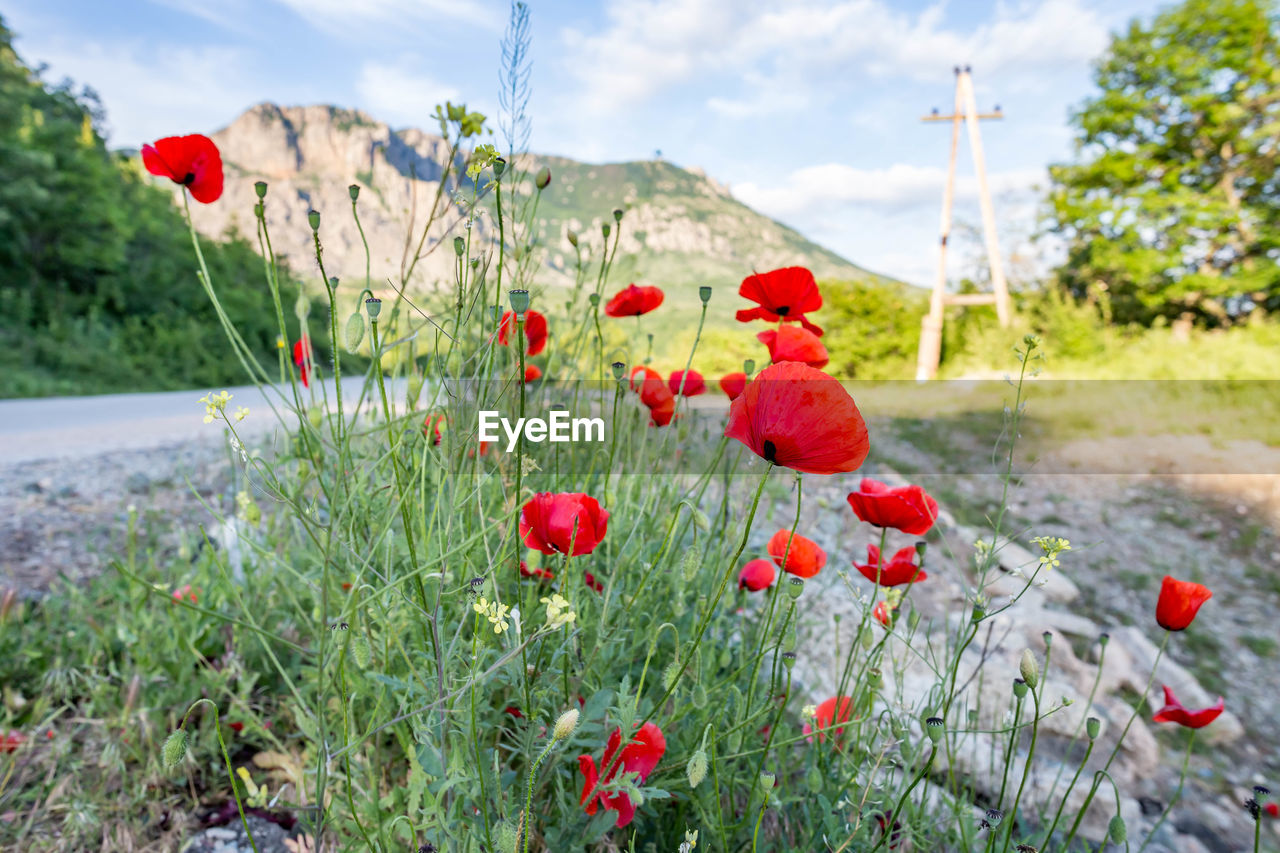 plant, poppy, red, flower, nature, flowering plant, freshness, growth, beauty in nature, day, land, no people, field, vulnerability, fragility, sky, food, focus on foreground, close-up, fruit, outdoors, flower head