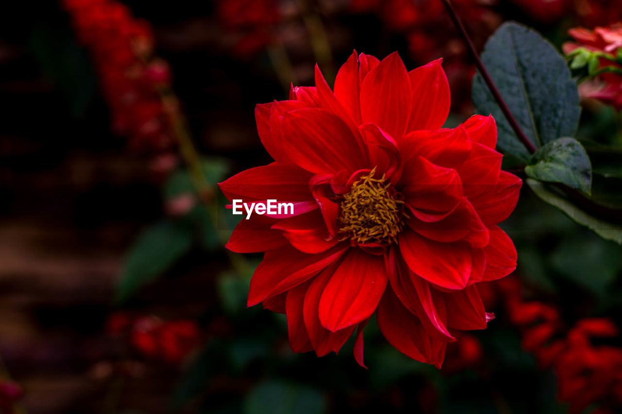flower, petal, flower head, beauty in nature, red, fragility, nature, freshness, no people, growth, blooming, plant, pollen, focus on foreground, outdoors, close-up, day, zinnia, hibiscus