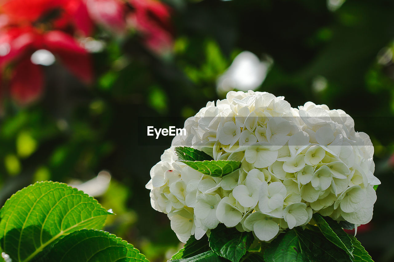flowering plant, flower, plant, beauty in nature, vulnerability, growth, freshness, fragility, petal, close-up, flower head, inflorescence, plant part, leaf, focus on foreground, nature, white color, green color, day, rose, no people, outdoors, bunch of flowers