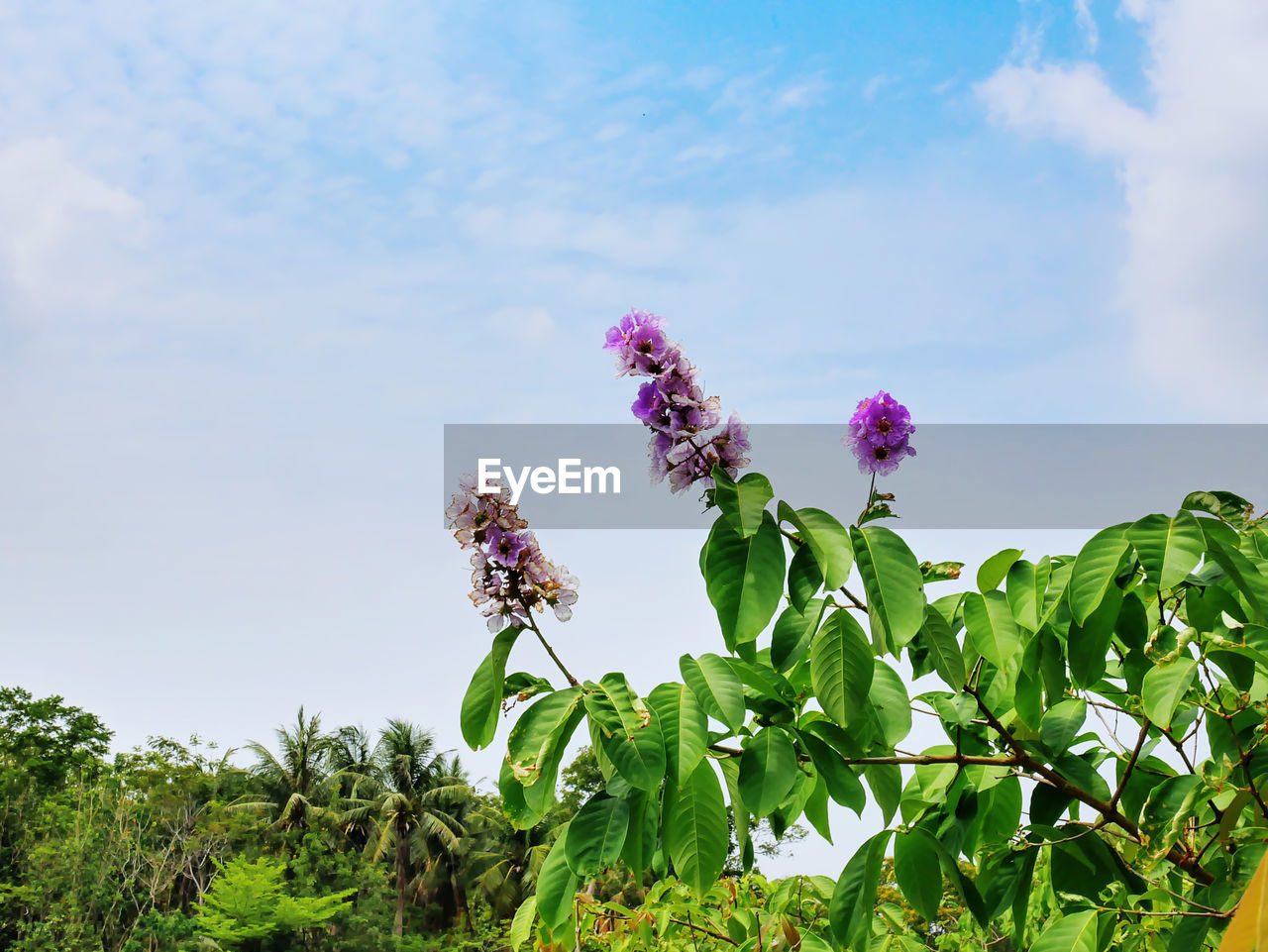 plant, flowering plant, flower, growth, beauty in nature, vulnerability, fragility, freshness, nature, sky, plant part, leaf, day, close-up, pink color, no people, petal, flower head, cloud - sky, green color, outdoors, purple, pollination