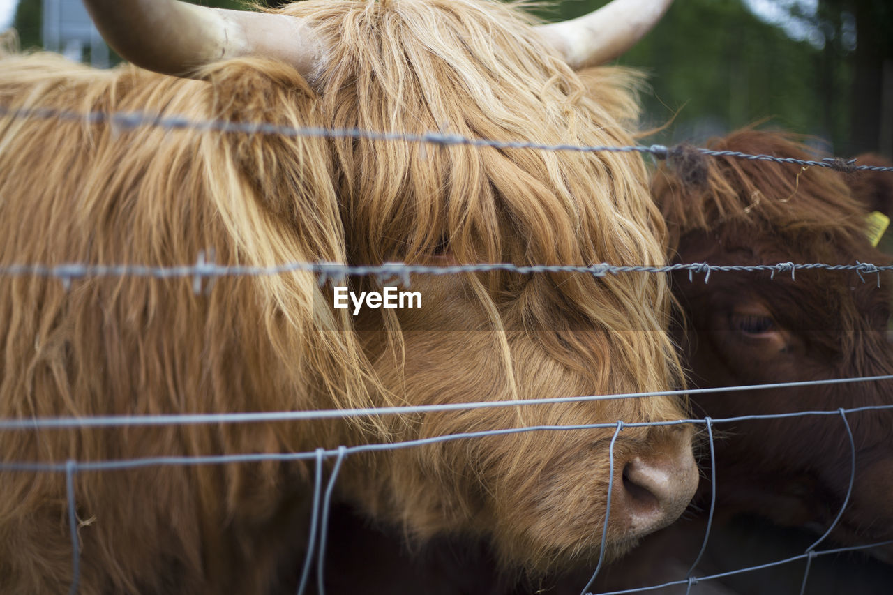 mammal, animal themes, domestic animals, livestock, animal, domestic, pets, boundary, group of animals, barrier, fence, vertebrate, herbivorous, focus on foreground, day, animal wildlife, no people, field, cattle, security, outdoors, animal head, ranch