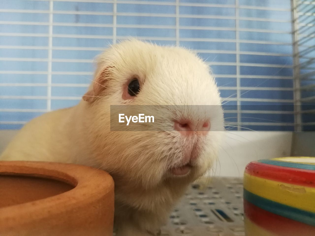 mammal, domestic, animal themes, pets, one animal, animal, rodent, close-up, indoors, domestic animals, guinea pig, no people, vertebrate, animal wildlife, cage, hamster, white color, portrait, focus on foreground, looking at camera, whisker