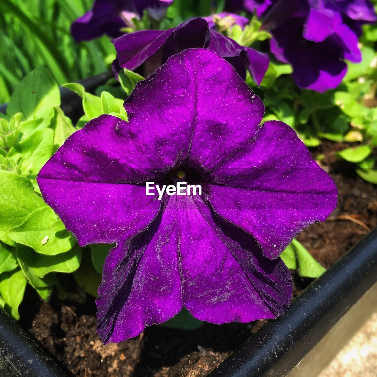 plant, flower, flowering plant, flower head, beauty in nature, petal, inflorescence, close-up, freshness, fragility, vulnerability, petunia, growth, leaf, plant part, nature, purple, no people, pink color, day, outdoors, raindrop