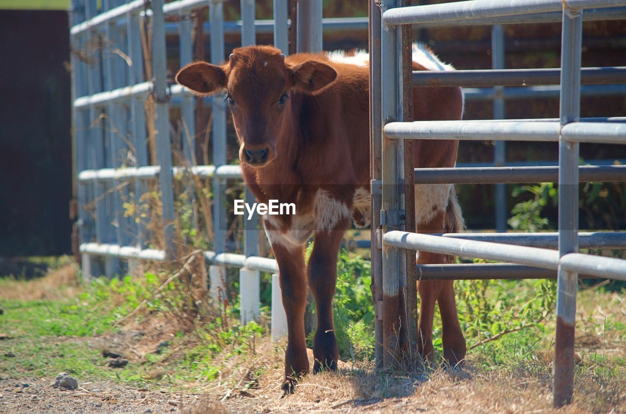 mammal, domestic animals, domestic, pets, animal themes, livestock, animal, vertebrate, barrier, fence, boundary, no people, standing, one animal, day, cattle, herbivorous, land, field, nature, outdoors, animal pen