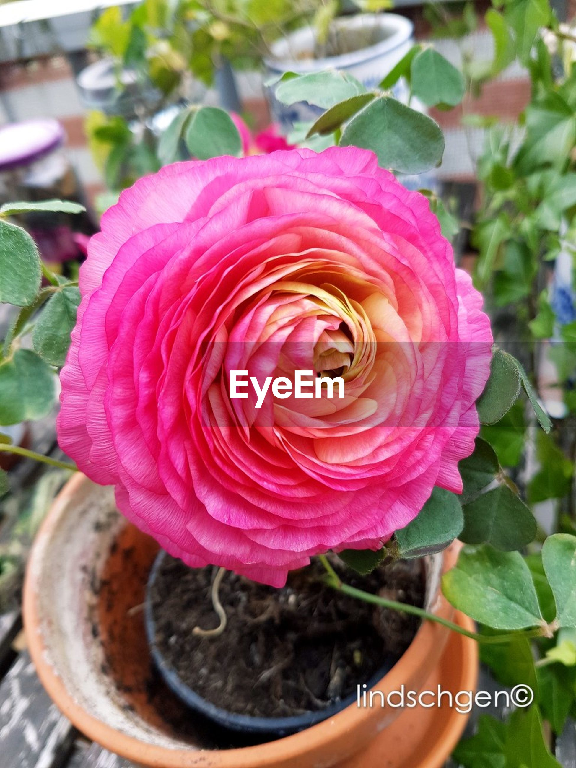 flower, petal, nature, beauty in nature, rose - flower, flower head, fragility, pink color, focus on foreground, freshness, plant, growth, close-up, outdoors, leaf, day, no people