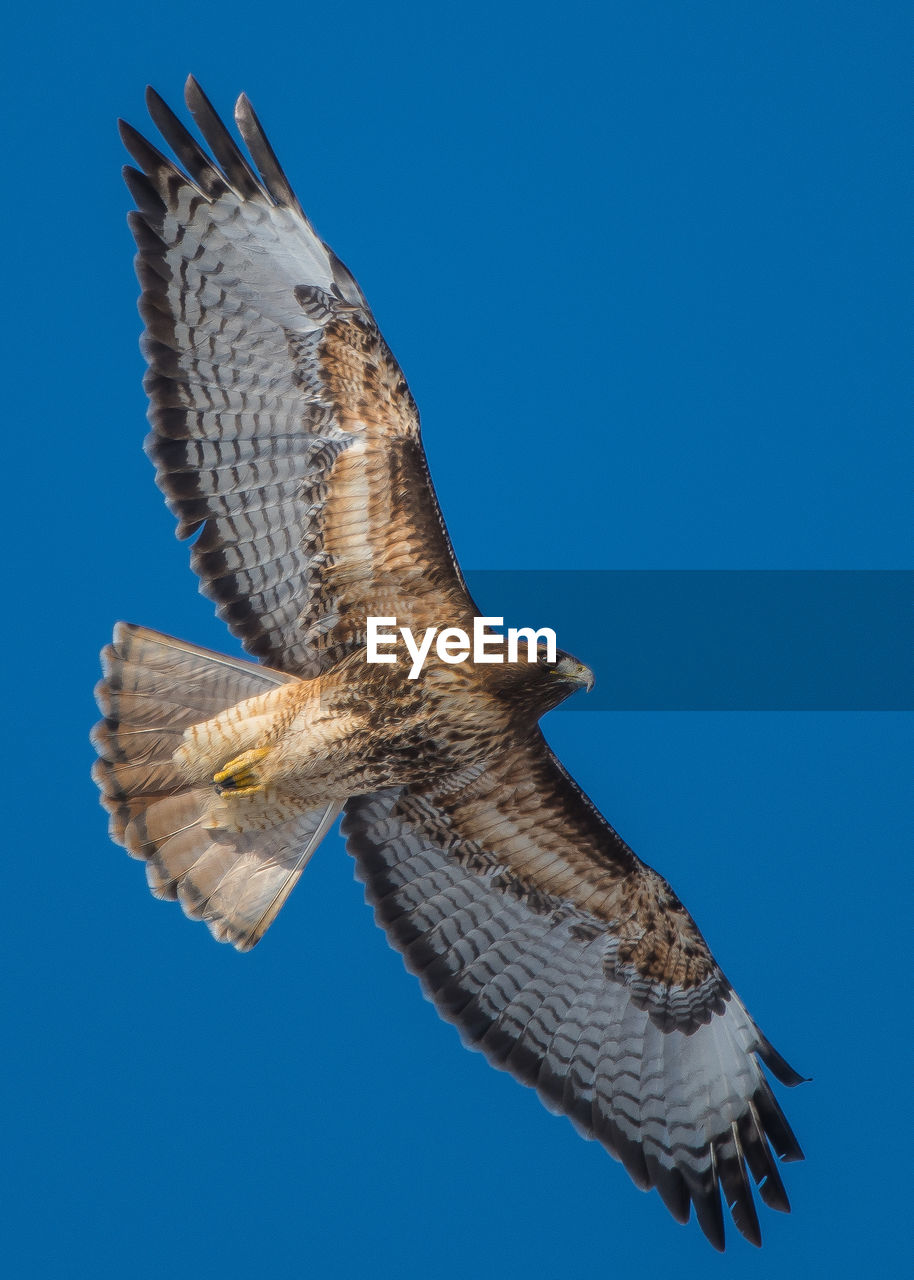 animal wildlife, vertebrate, animals in the wild, one animal, animal themes, animal, bird, flying, spread wings, clear sky, low angle view, bird of prey, sky, blue, mid-air, no people, nature, copy space, day, outdoors, falcon - bird, eagle