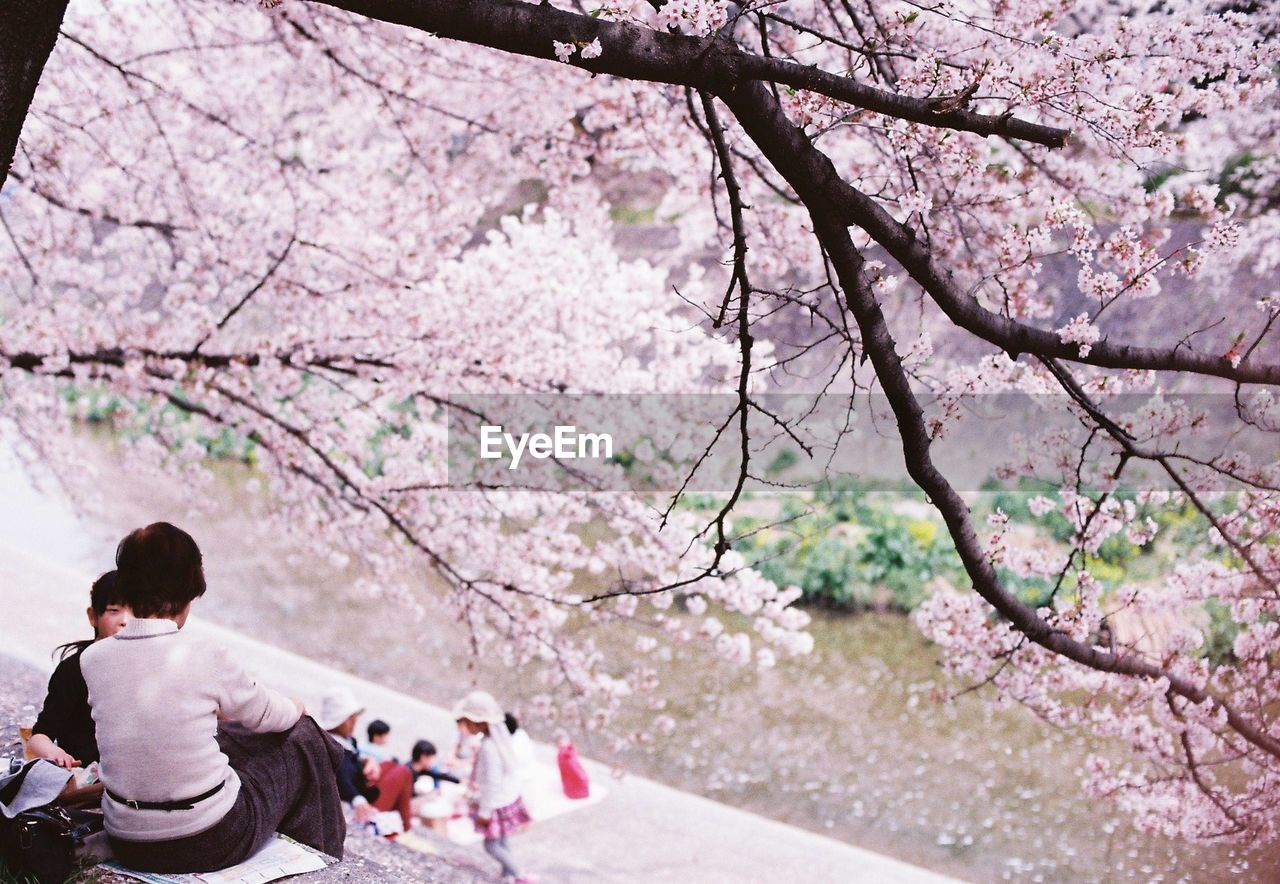 People sitting under blooming cherry blossom tree