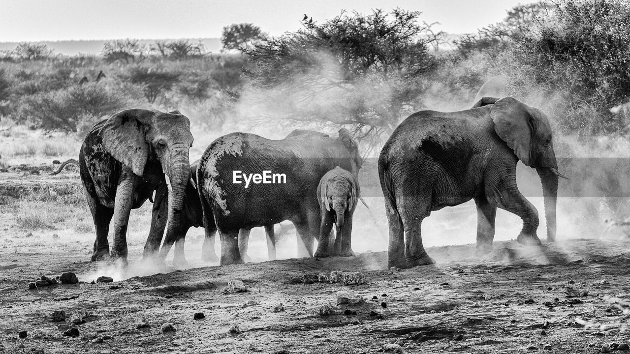 Elephant herd in field