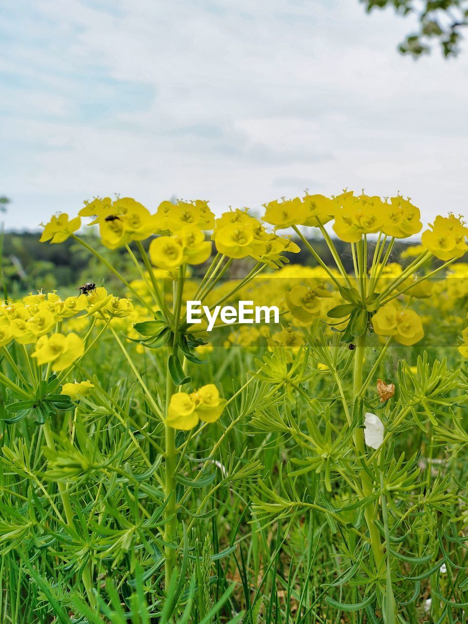 yellow, flower, flowering plant, plant, growth, beauty in nature, freshness, fragility, vulnerability, field, land, nature, sky, close-up, agriculture, petal, oilseed rape, day, no people, inflorescence, flower head, springtime, outdoors