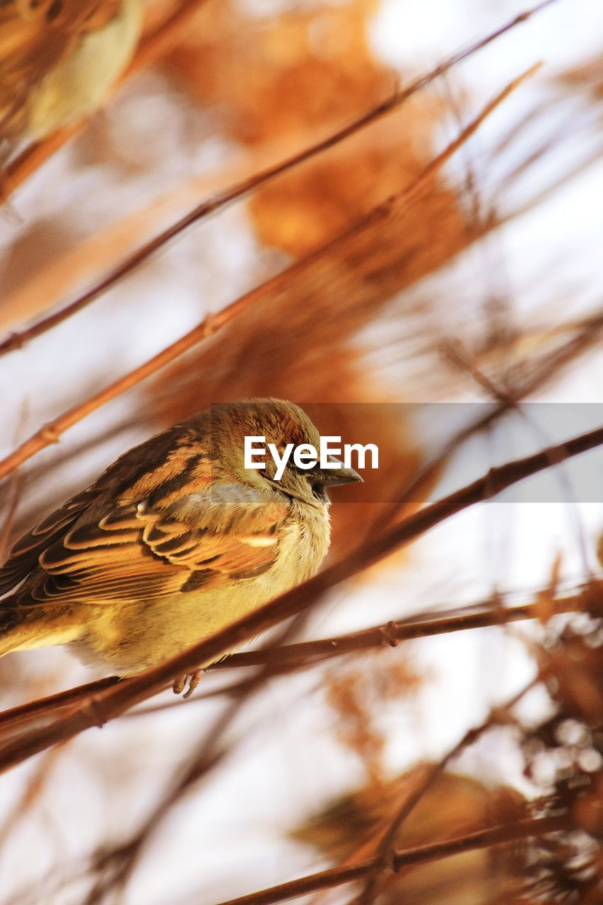 animal, animal themes, bird, vertebrate, one animal, animal wildlife, animals in the wild, tree, selective focus, sparrow, plant, no people, perching, focus on foreground, branch, nature, close-up, day, low angle view, outdoors