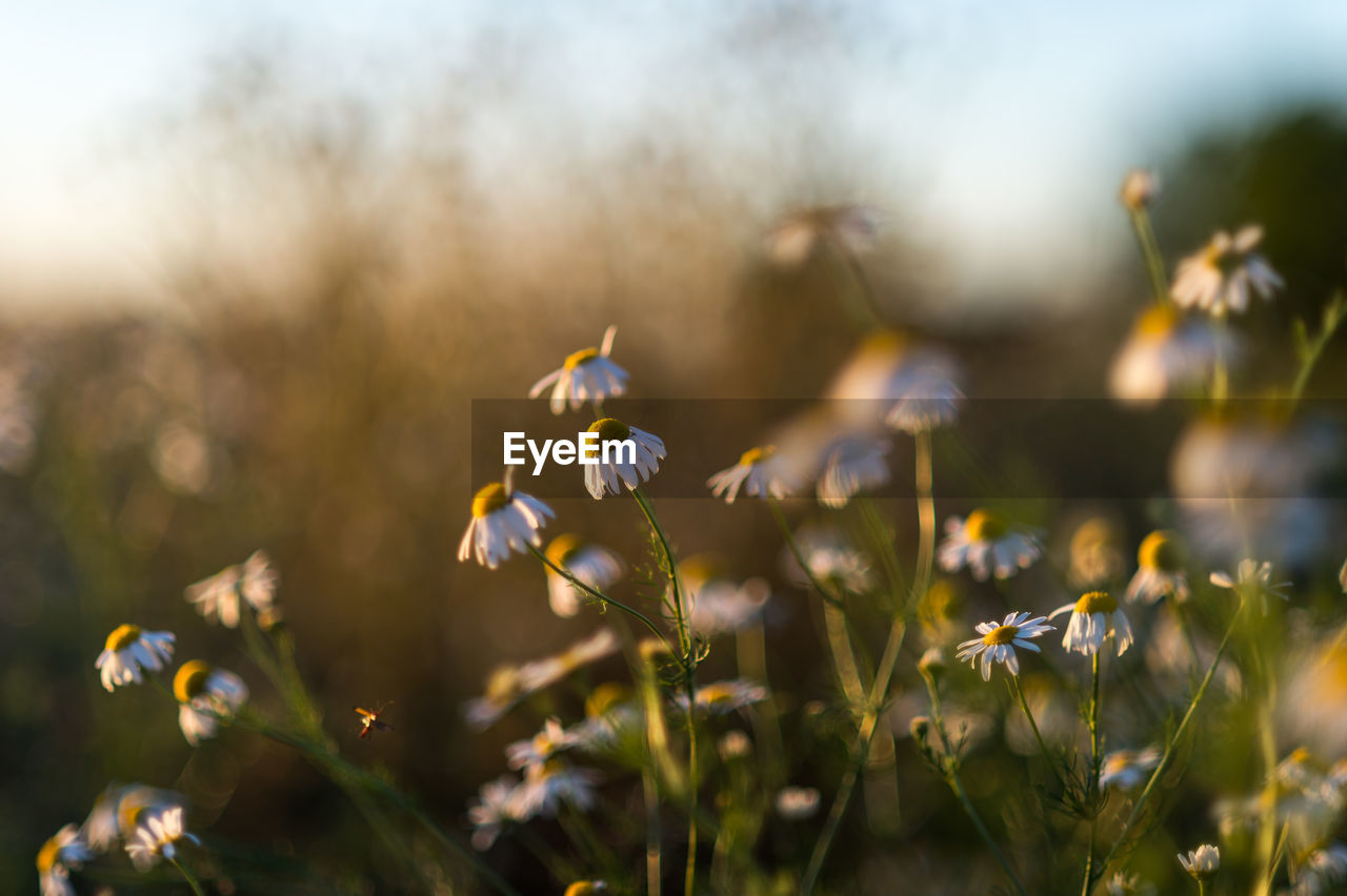 growth, plant, beauty in nature, freshness, flower, vulnerability, fragility, flowering plant, nature, selective focus, close-up, no people, field, day, focus on foreground, land, outdoors, petal, sunlight, flower head