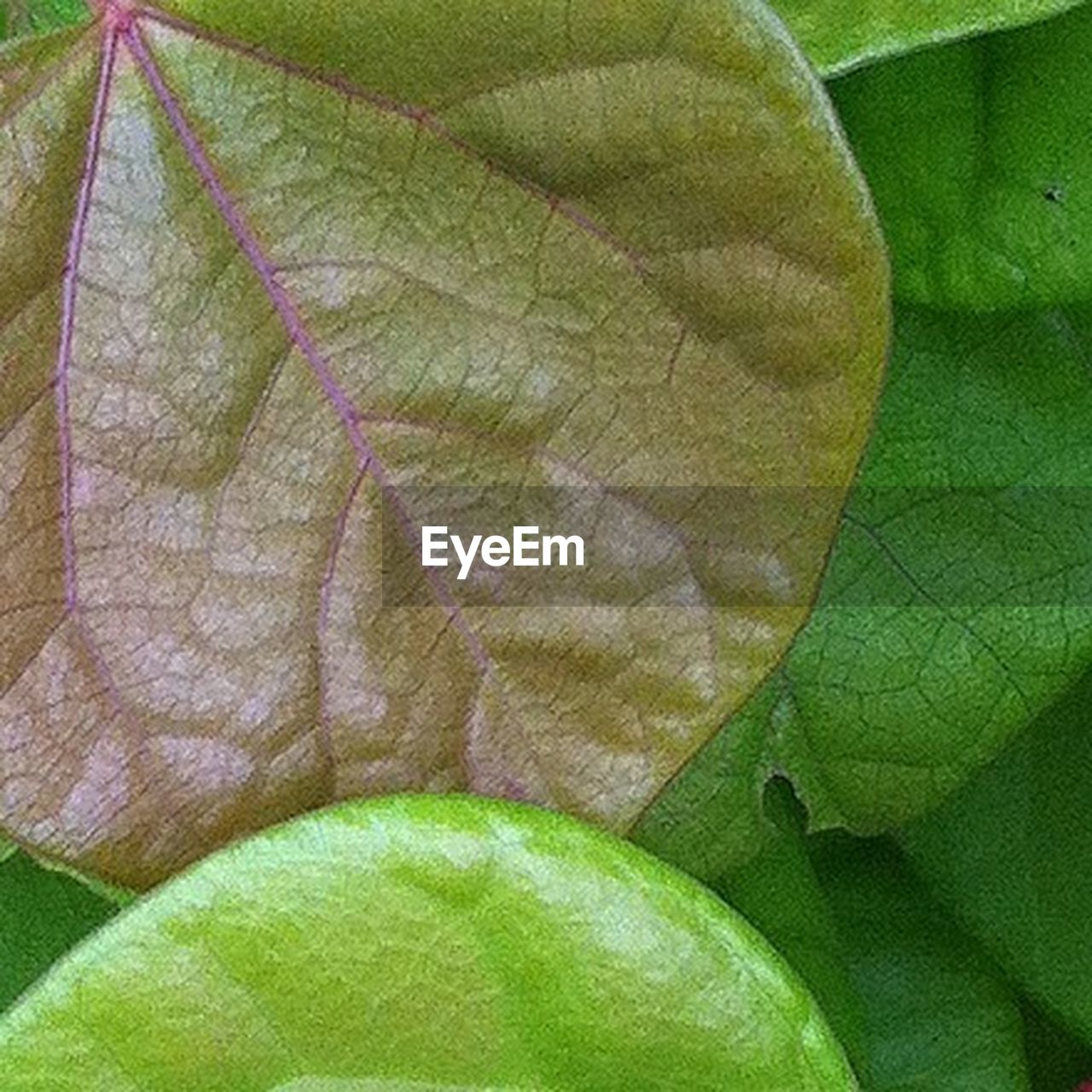 leaf, green color, close-up, nature, autumn, day, growth, fragility, change, outdoors, beauty in nature, plant, freshness, maple leaf, maple, branch, no people, tree