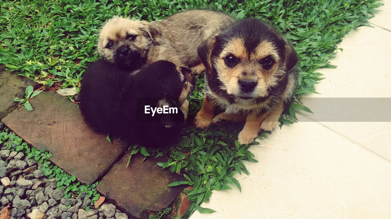 High Angle View Of Cute Puppies On Grass