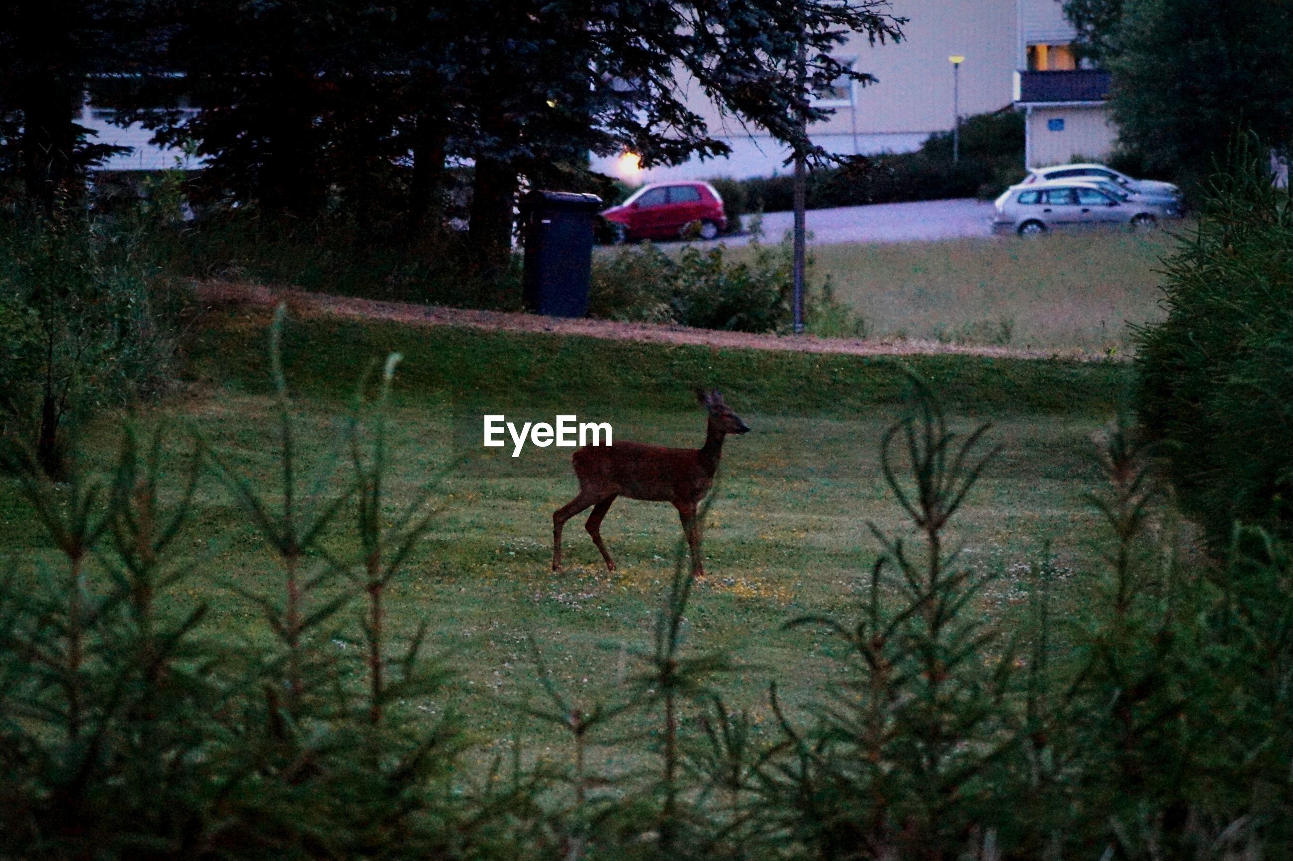 Deer on grass at park