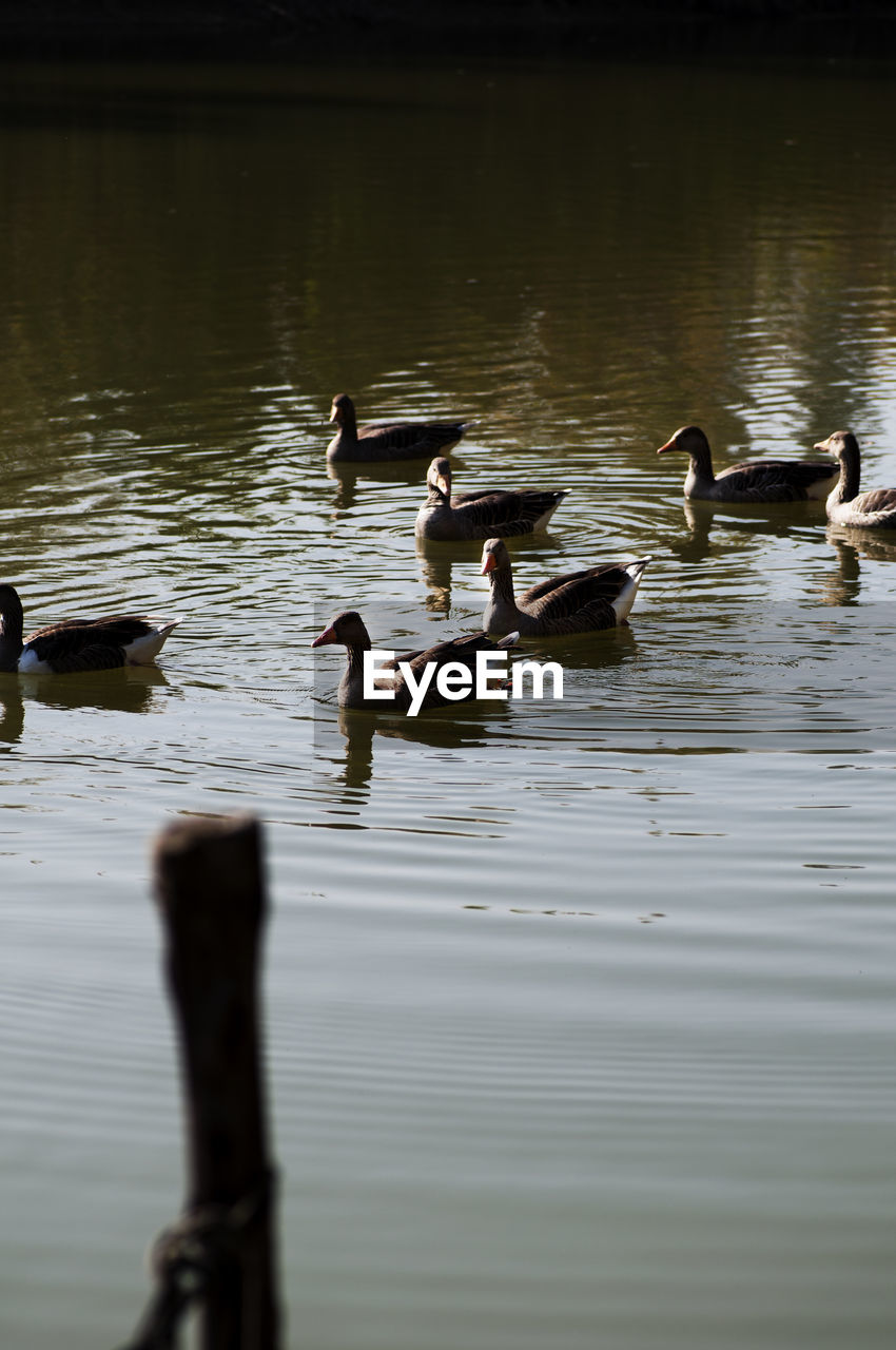 bird, animal, animals in the wild, animal themes, vertebrate, animal wildlife, group of animals, lake, swimming, water, waterfront, nature, no people, water bird, large group of animals, duck, day, reflection, beauty in nature, flock of birds, animal family