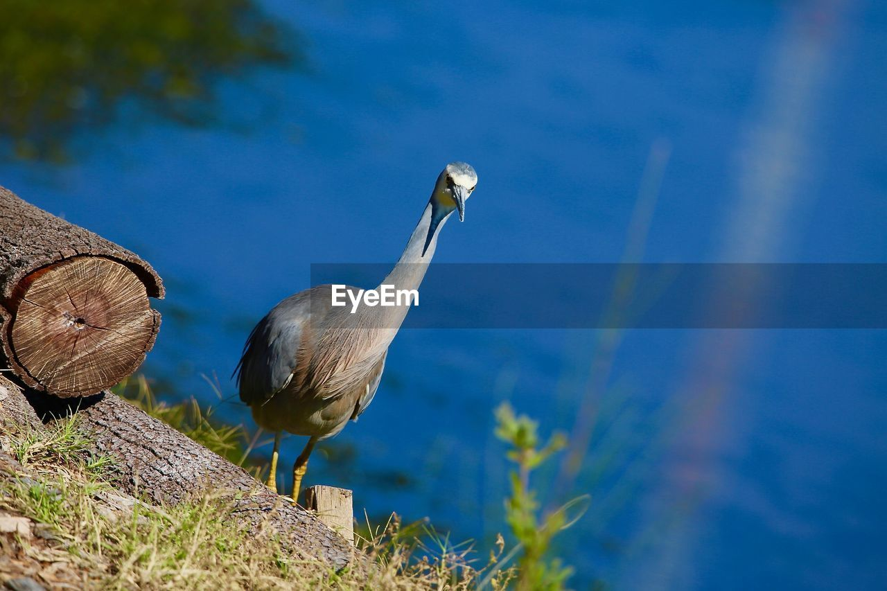 bird, animal wildlife, animals in the wild, animal, animal themes, vertebrate, nature, one animal, no people, day, perching, plant, blue, selective focus, outdoors, beauty in nature, water, focus on foreground