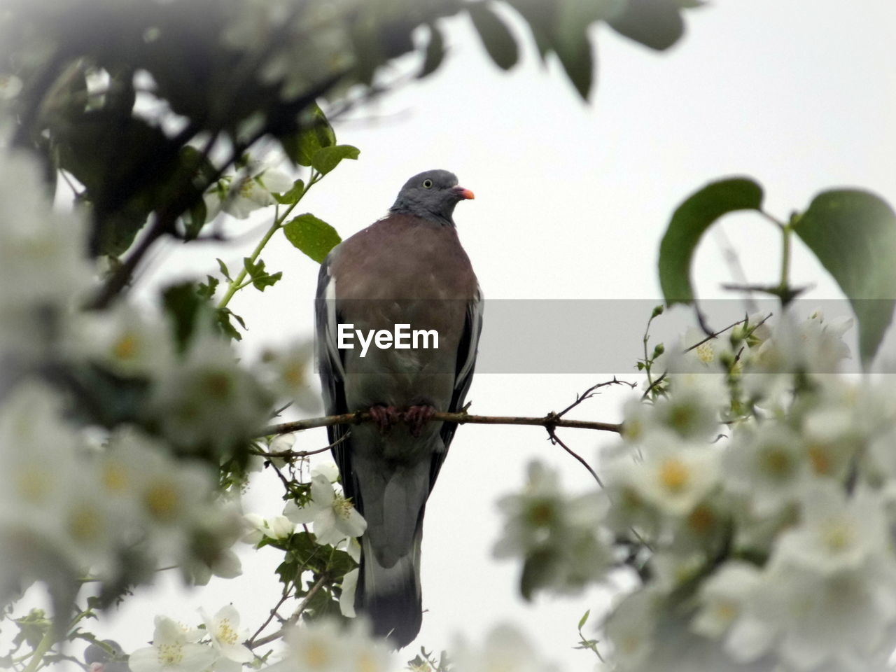 Pigeon Perching Branch Against Sky
