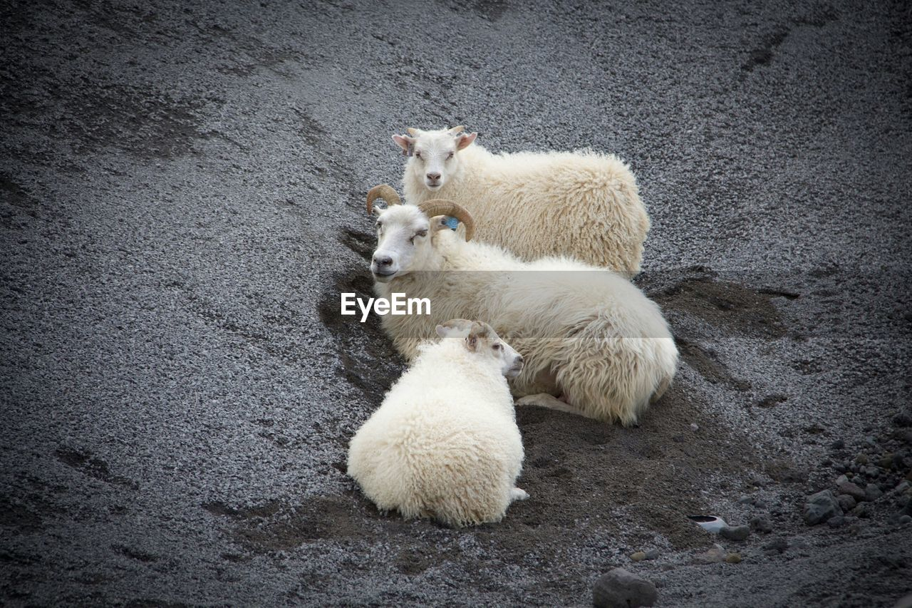 High Angle View Of Sheep Relaxing On Field