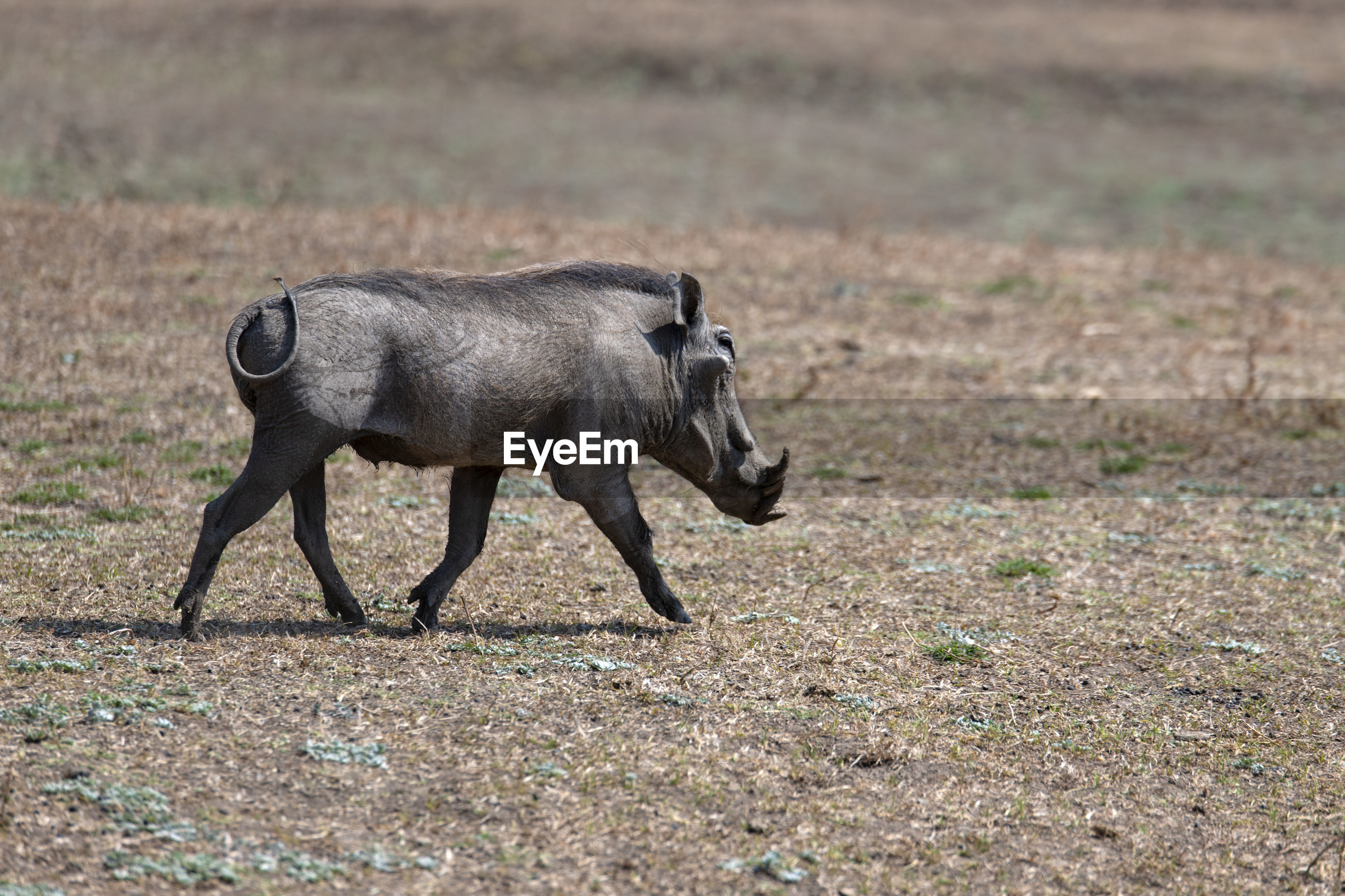 Warthog on field