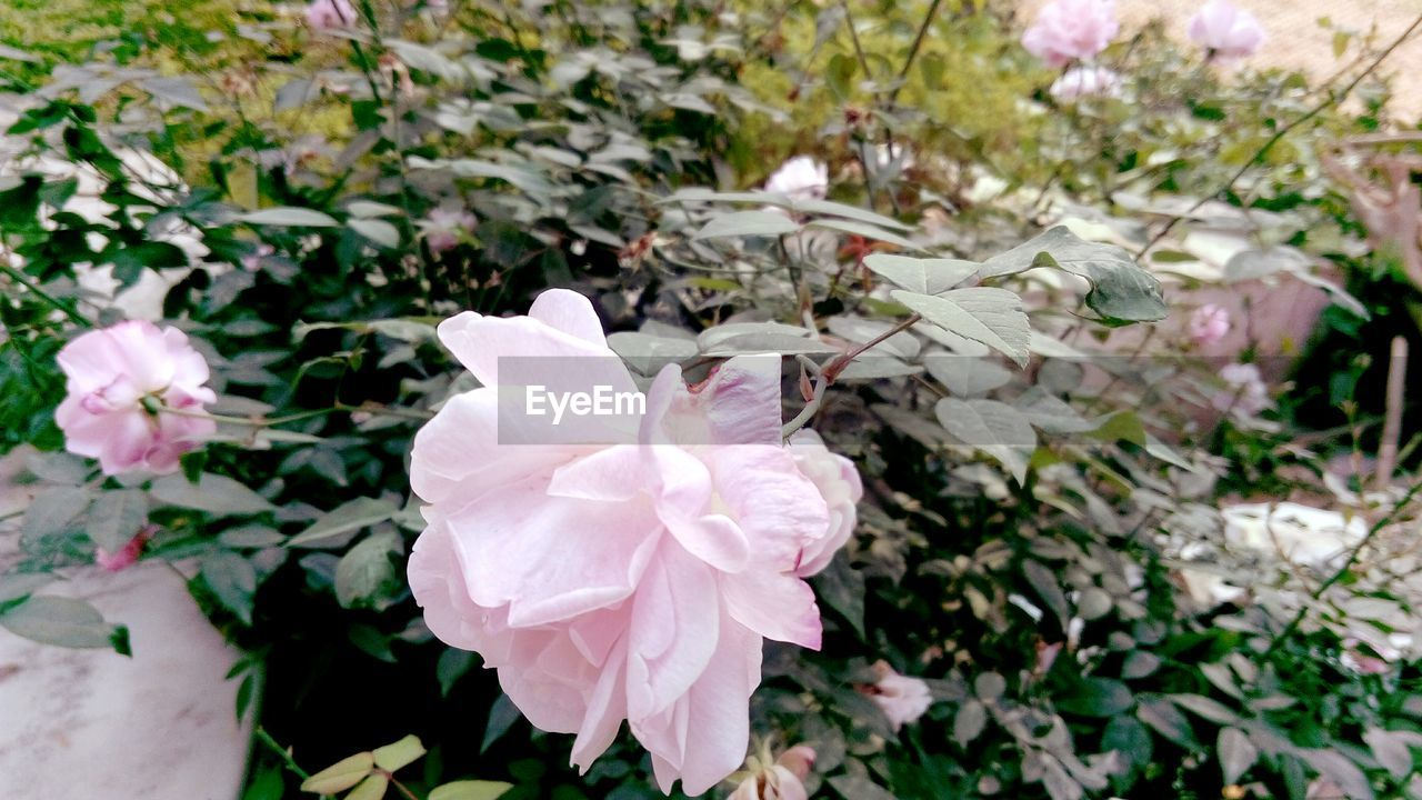 flower, petal, nature, growth, beauty in nature, pink color, plant, flower head, no people, fragility, blooming, day, outdoors, freshness, close-up