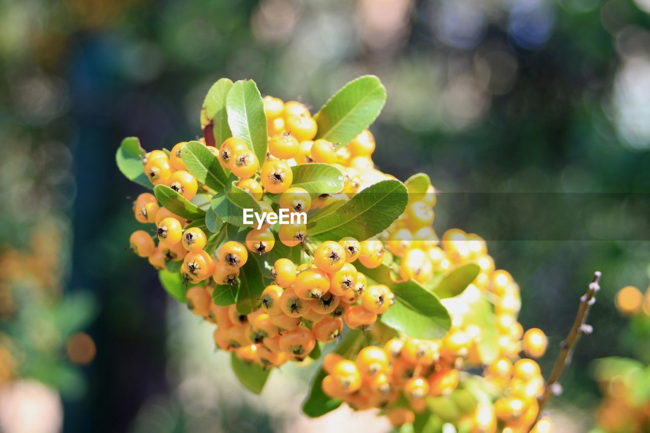 growth, focus on foreground, green color, close-up, plant, day, no people, freshness, nature, beauty in nature, fruit, healthy eating, food and drink, selective focus, outdoors, food, sunlight, yellow, leaf, flower
