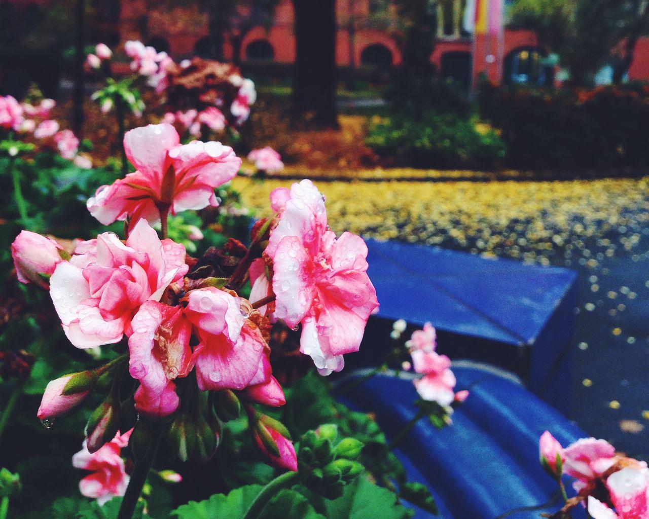 Wet pink flowers blooming in park