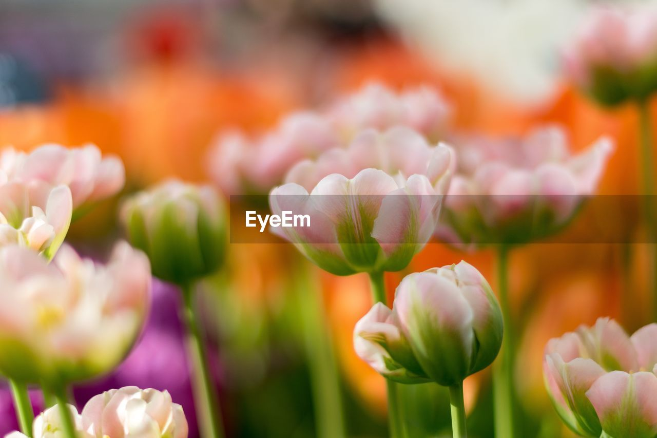 flower, flowering plant, beauty in nature, freshness, plant, fragility, vulnerability, growth, petal, close-up, tulip, selective focus, no people, nature, flower head, day, inflorescence, botany, plant stem, field, outdoors, springtime, purple