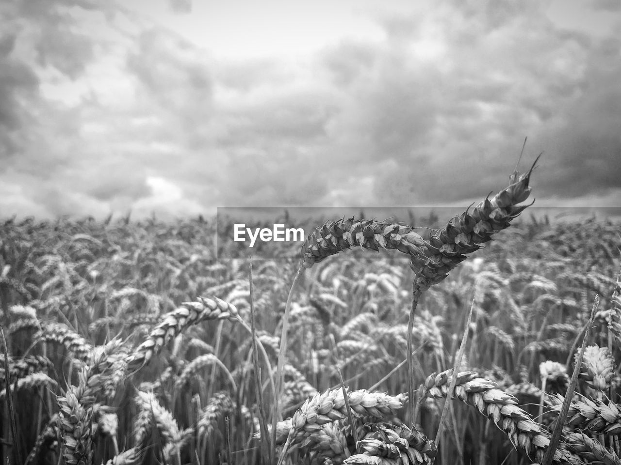 field, agriculture, farm, nature, crop, growth, cereal plant, no people, sky, rural scene, wheat, landscape, beauty in nature, outdoors, cloud - sky, day, tranquil scene, plant, tranquility, scenics, grass, ear of wheat, close-up, food, hay bale