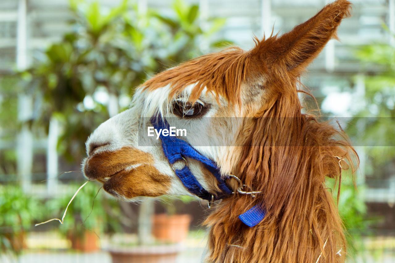 Side view of llama