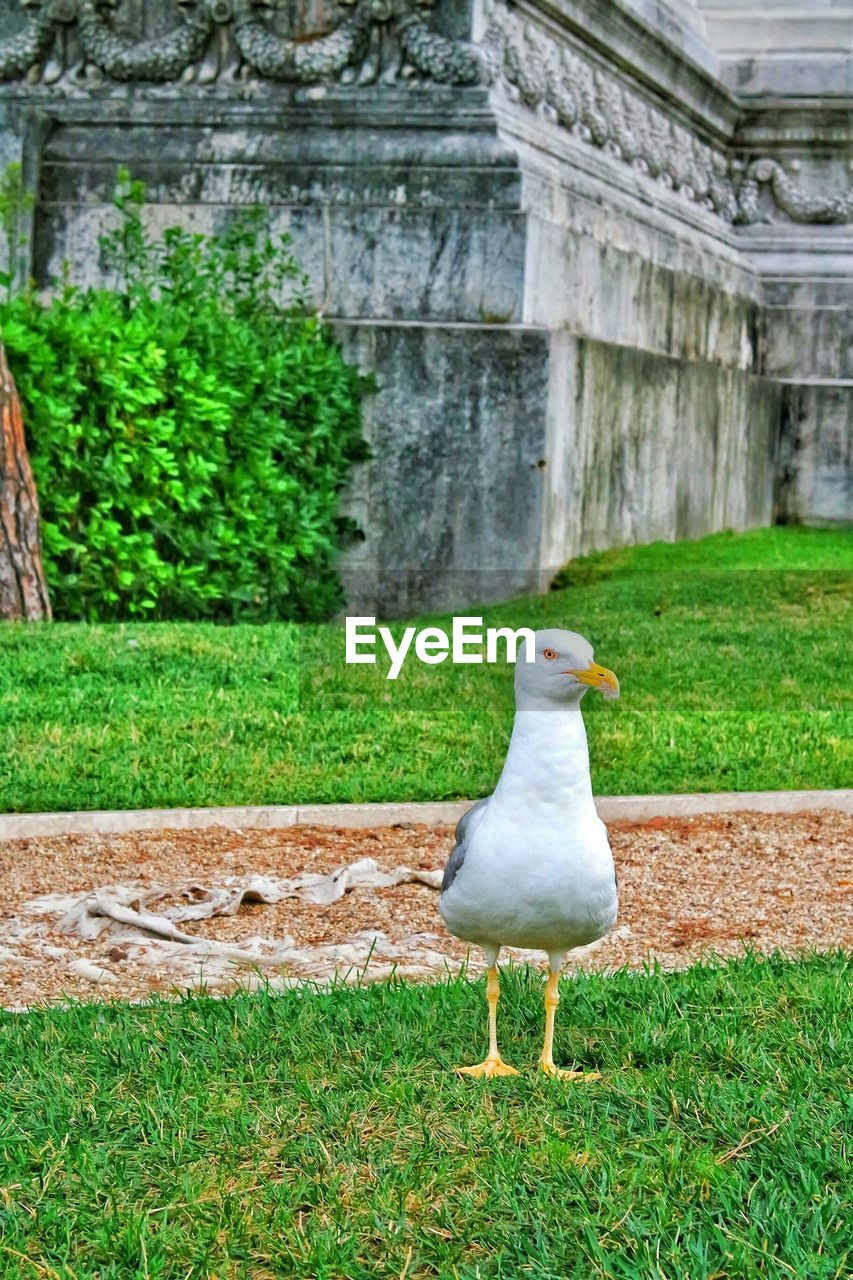Seagull on grassy field in park