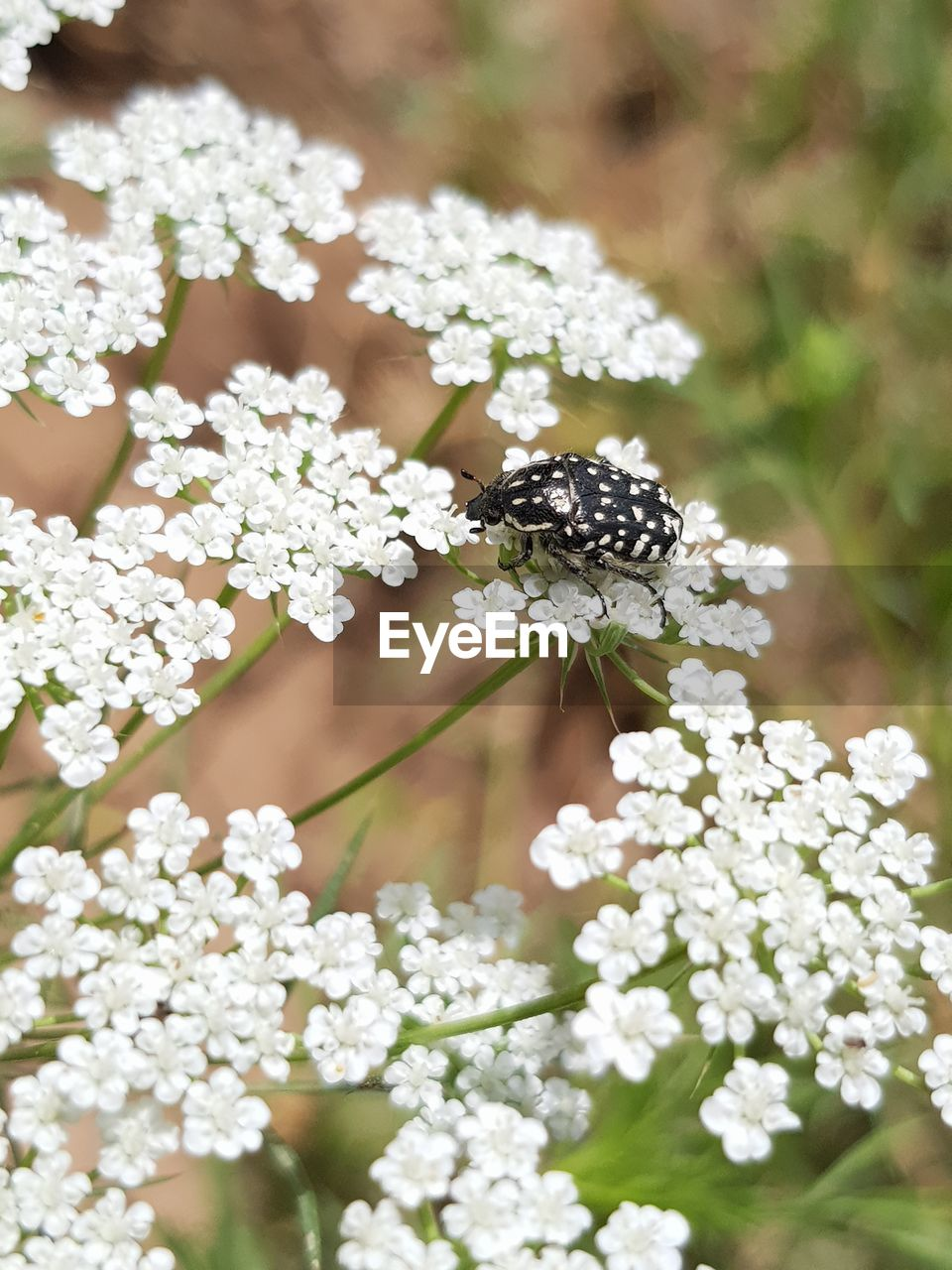 flower, flowering plant, plant, fragility, invertebrate, vulnerability, freshness, animal themes, insect, animal, white color, one animal, growth, beauty in nature, animals in the wild, animal wildlife, close-up, flower head, petal, day, no people, pollination, outdoors, animal wing
