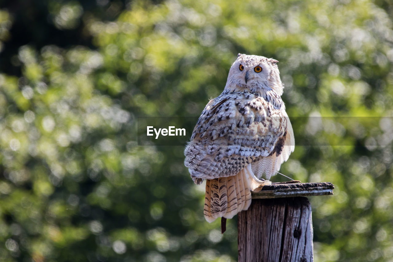 Portrait of owl perching on wooden post