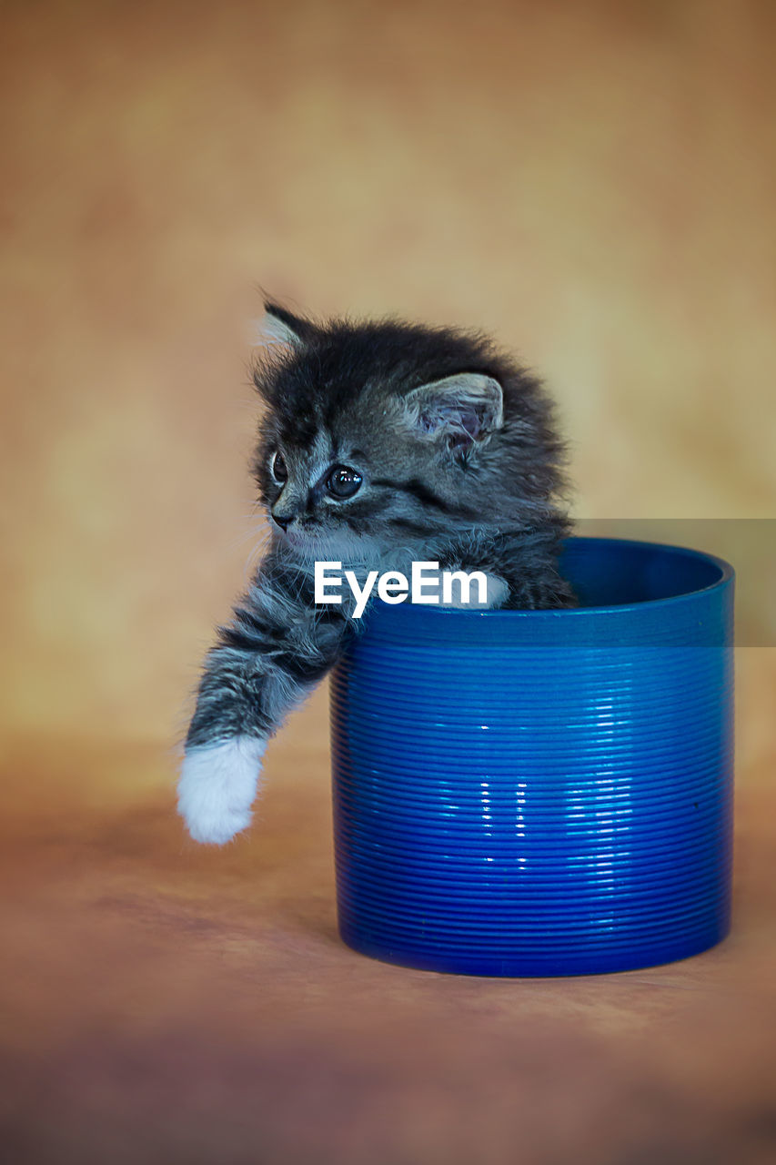 mammal, domestic cat, pets, animal themes, domestic animals, indoors, one animal, no people, table, feline, looking at camera, young animal, kitten, close-up, day