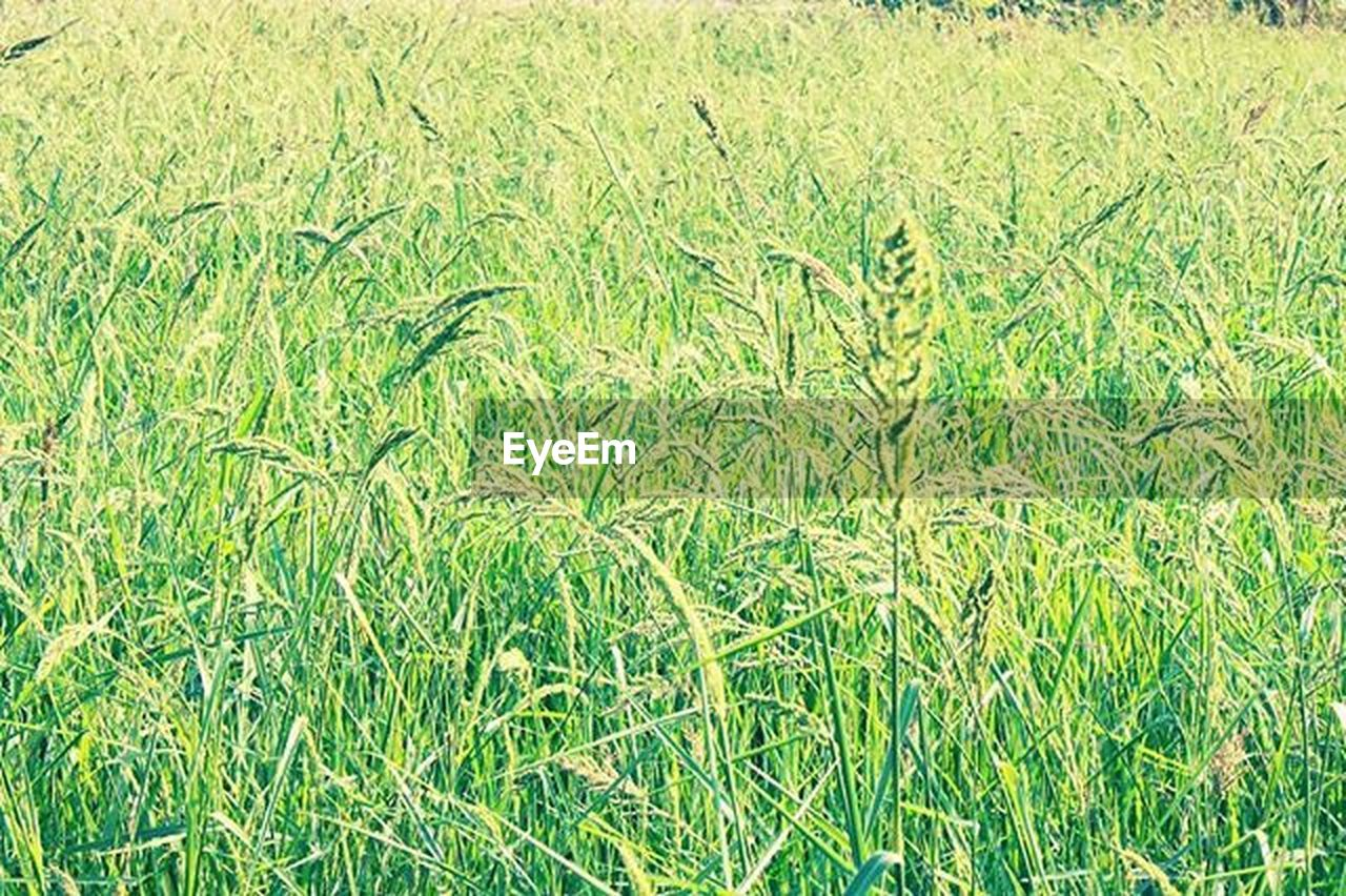 grass, nature, field, full frame, growth, backgrounds, green color, day, no people, beauty in nature, outdoors, close-up