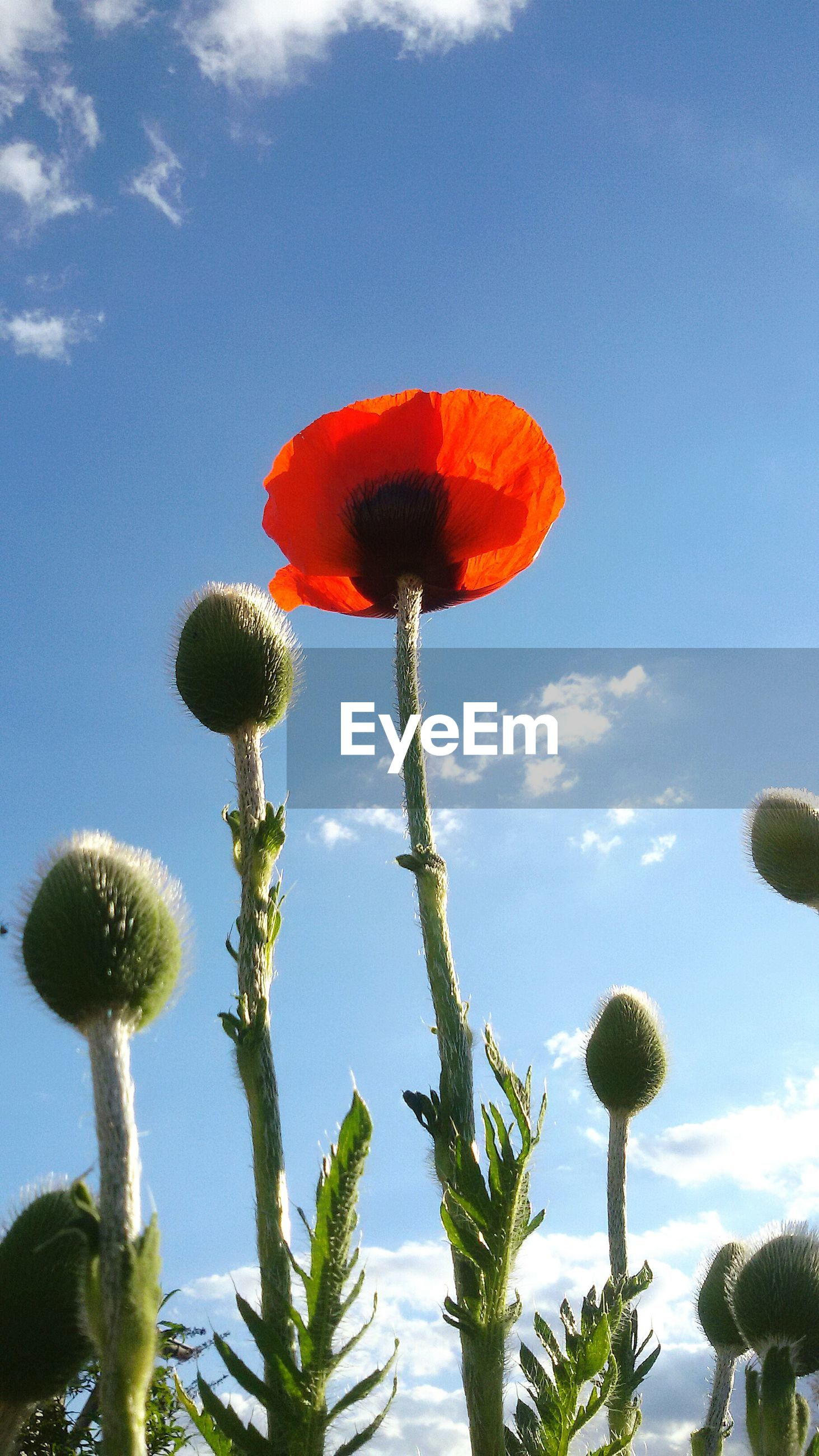 flower, growth, freshness, fragility, flower head, beauty in nature, plant, stem, petal, nature, sky, blooming, low angle view, poppy, bud, red, single flower, close-up, in bloom, botany
