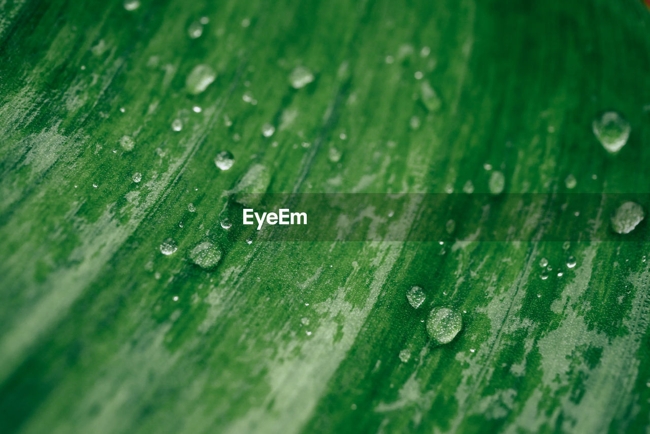 drop, wet, green color, close-up, water, leaf, no people, backgrounds, full frame, plant part, rain, selective focus, nature, day, beauty in nature, freshness, outdoors, purity, dew, raindrop, leaves, rainy season, blade of grass