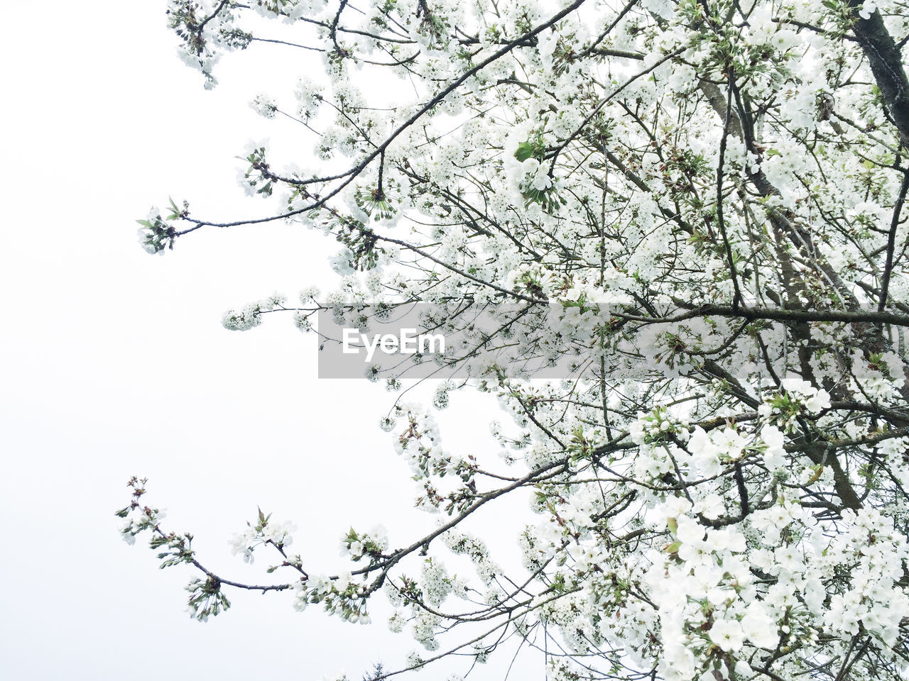 tree, branch, flower, nature, growth, blossom, low angle view, beauty in nature, fragility, botany, springtime, apple blossom, no people, freshness, spring, outdoors, tranquility, day, clear sky, sky, flower head