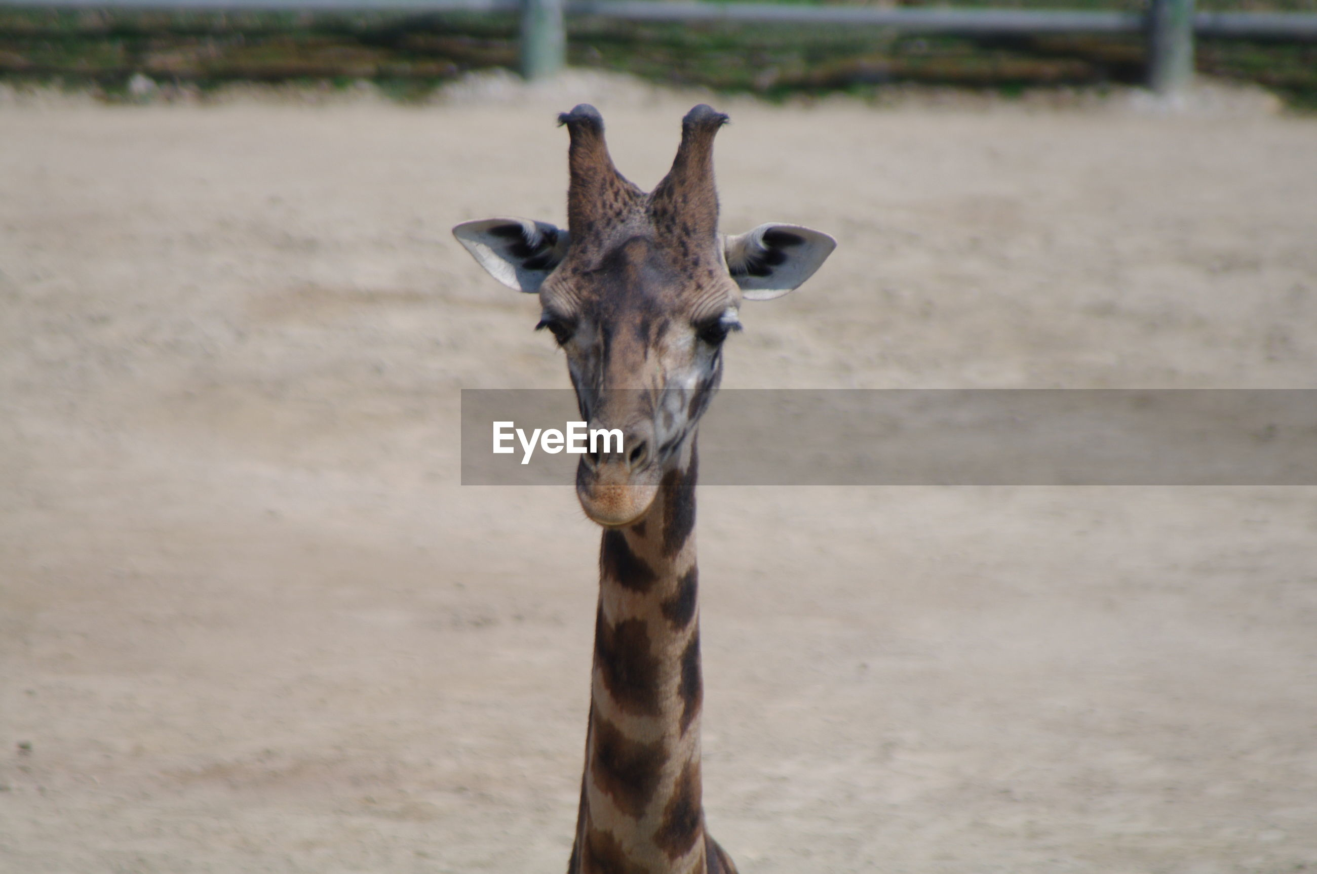 Portrait of giraffe in zoo