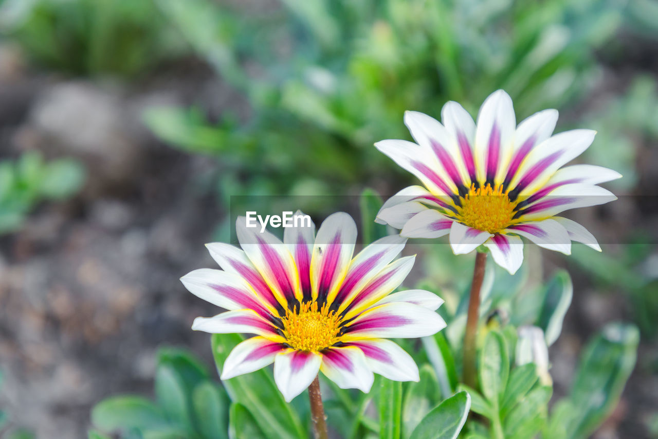 flowering plant, flower, vulnerability, fragility, plant, petal, freshness, beauty in nature, growth, flower head, inflorescence, close-up, day, focus on foreground, gazania, nature, pollen, no people, high angle view, outdoors