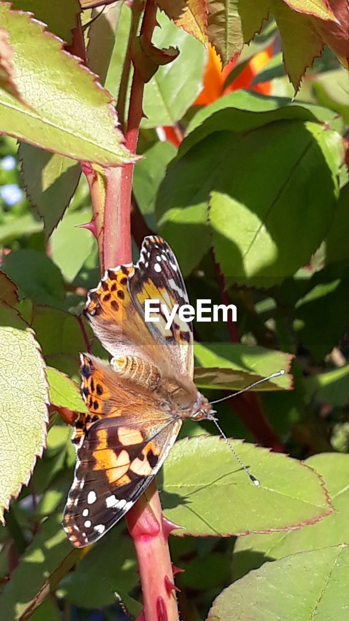leaf, plant part, animal wildlife, animal themes, animals in the wild, one animal, animal, plant, butterfly - insect, insect, beauty in nature, growth, nature, invertebrate, animal wing, close-up, focus on foreground, day, no people, green color, outdoors, butterfly, pollination