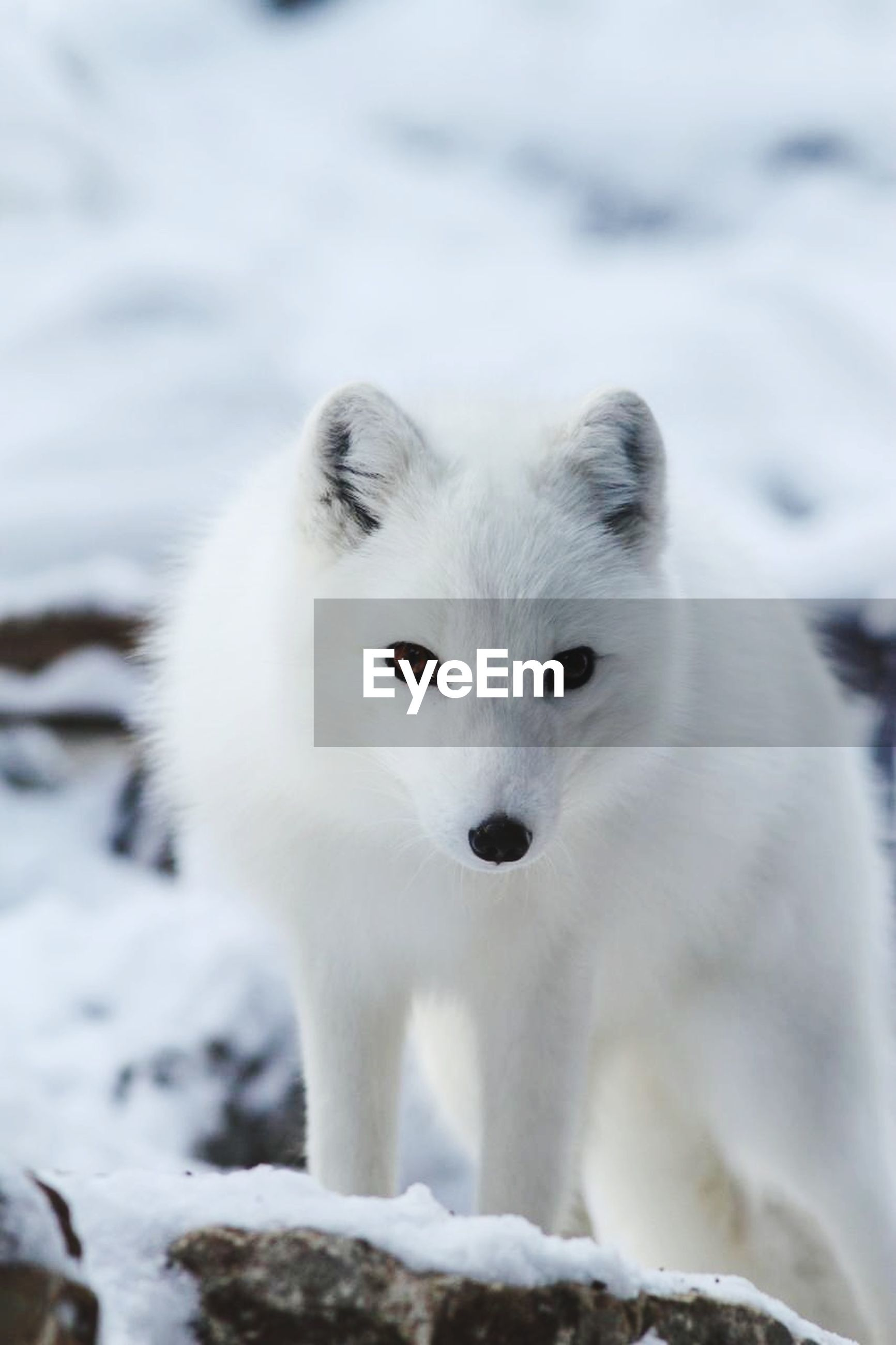 animal themes, one animal, white color, focus on foreground, close-up, portrait, looking at camera, animal head, mammal, wildlife, animals in the wild, white, snow, winter, nature, animal body part, no people, outdoors, day, front view