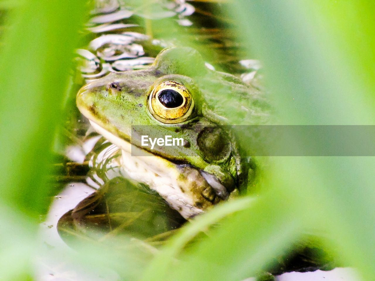 animal, animal themes, animals in the wild, animal wildlife, selective focus, green color, one animal, amphibian, close-up, frog, vertebrate, nature, plant part, leaf, animal body part, no people, day, animal eye, plant, animal head