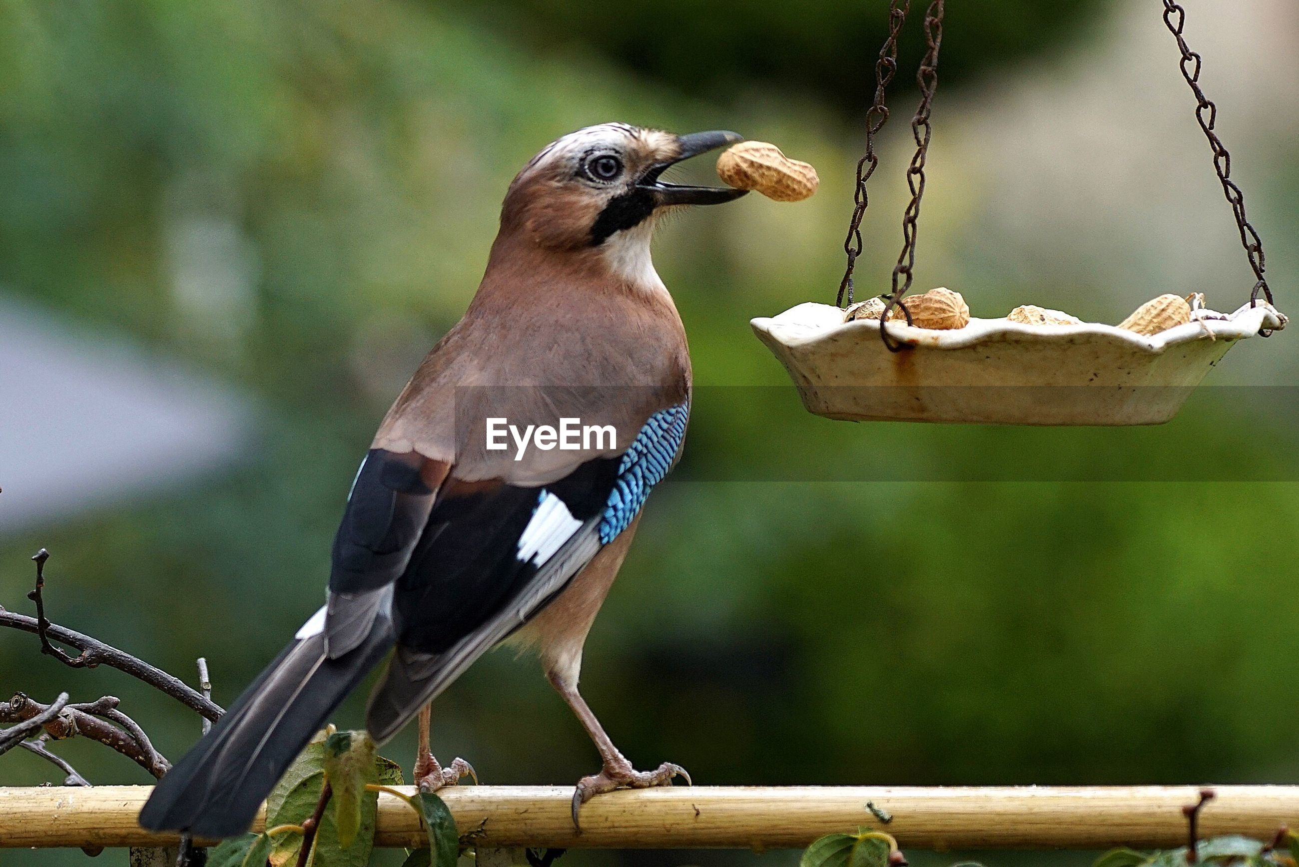 Close-up of eurasian jay with peanut by bird feeder