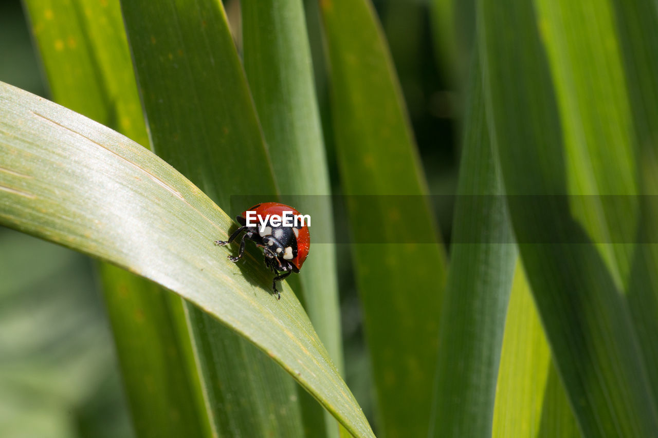 insect, animals in the wild, invertebrate, ladybug, animal wildlife, animal themes, green color, beetle, animal, plant, one animal, focus on foreground, plant part, leaf, day, close-up, nature, no people, growth, red, outdoors, blade of grass