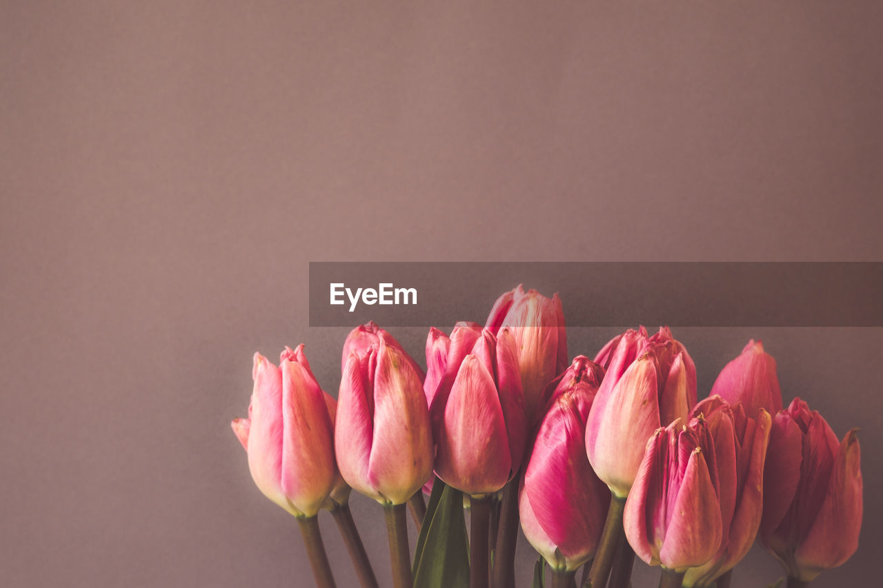 flower, flowering plant, pink color, beauty in nature, freshness, vulnerability, fragility, petal, plant, close-up, studio shot, indoors, copy space, flower head, inflorescence, tulip, no people, nature, colored background, plant stem, flower arrangement