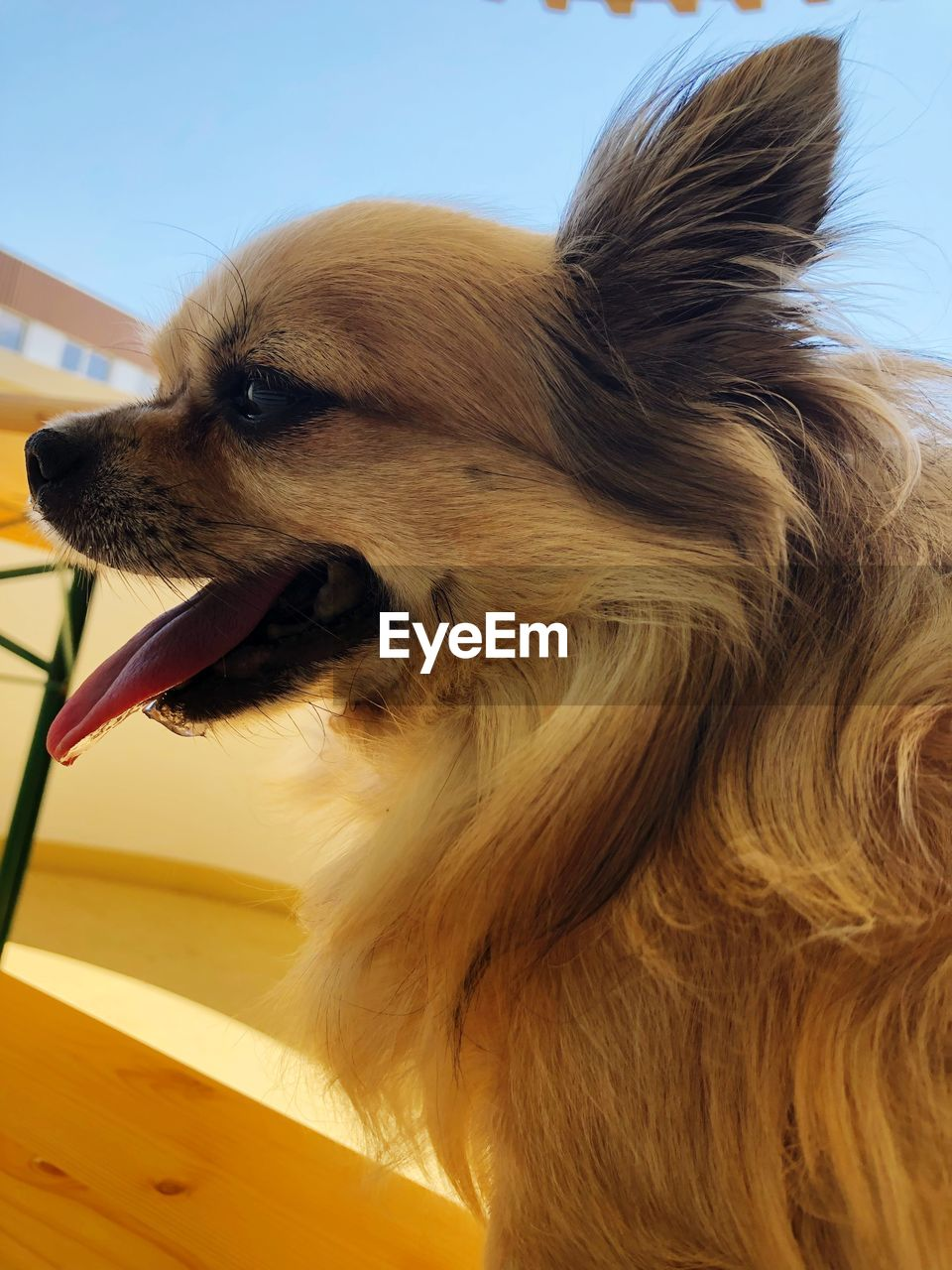 one animal, mammal, domestic animals, animal, domestic, pets, dog, canine, animal themes, vertebrate, looking away, looking, close-up, no people, day, sunlight, brown, nature, animal body part, animal hair, animal head, pomeranian, mouth open, profile view