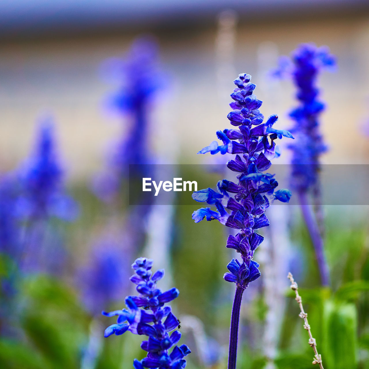 purple, flower, beauty in nature, growth, nature, lavender, fragility, plant, day, blue, no people, focus on foreground, freshness, hyacinth, outdoors, close-up, flower head