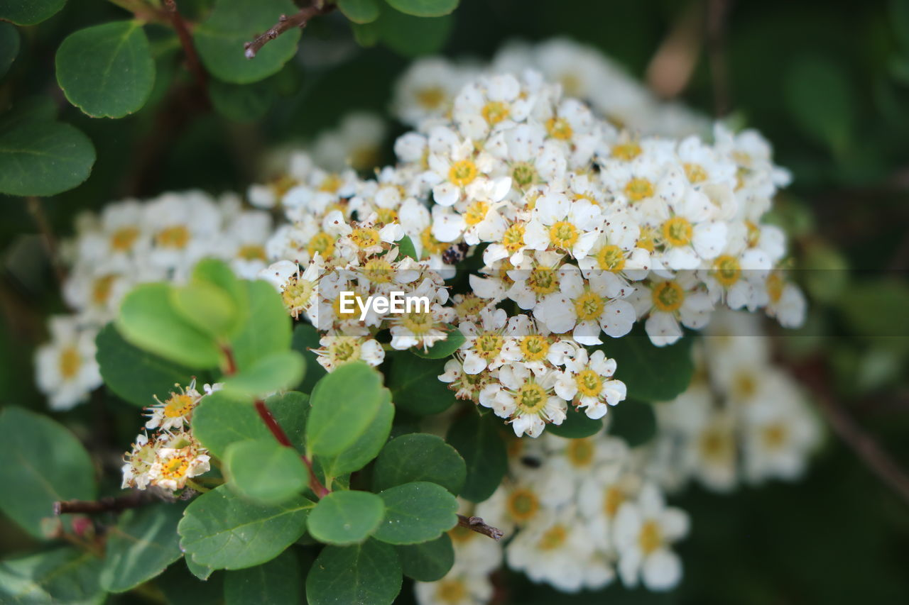 flowering plant, flower, growth, plant, beauty in nature, vulnerability, freshness, day, fragility, close-up, leaf, nature, plant part, focus on foreground, no people, selective focus, outdoors, flower head, petal, green color, lantana, bunch of flowers