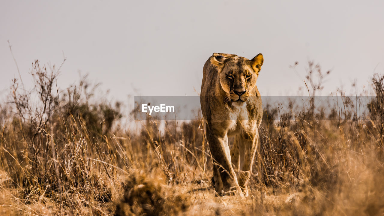 Lioness walking amidst dried plants against clear sky