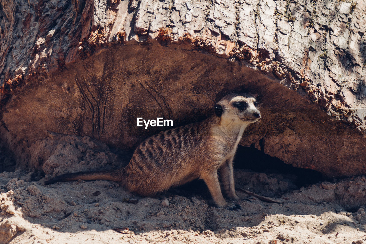 Meerkat Sitting By Wood On Sand